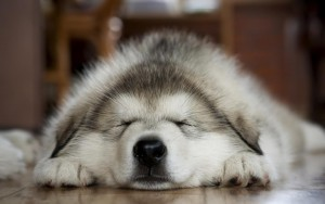 Sleeping-dog